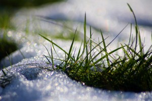 Gras im Schnee